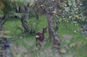 Roe Deer on Campfield Marsh