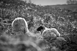Ennerdale sheep
